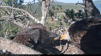 Eagle Updates | Friends of Big Bear Valley